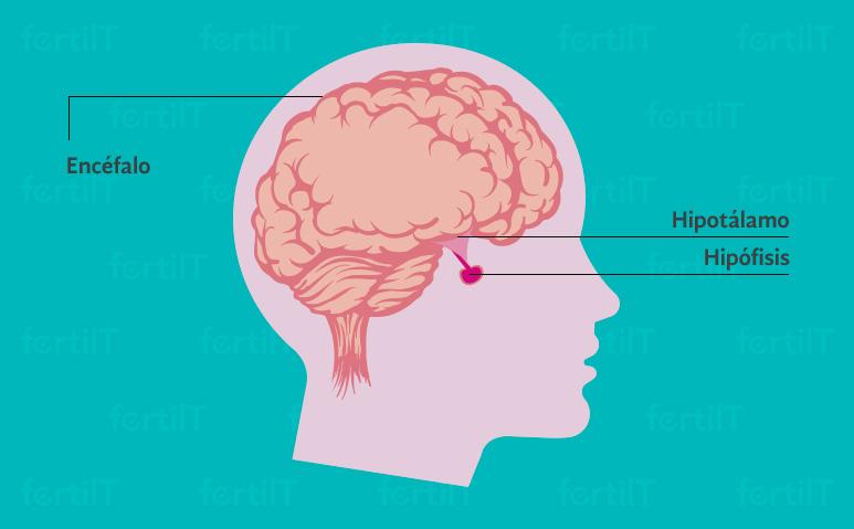 cabeza humana indicando la ubicación de la hipófisis